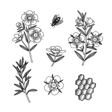 Manuka Honey branch, leaves and flower.Honeycomb and bee. Hand drawn Vector illustration.