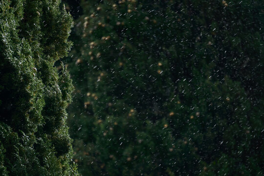 blurred background - sudden snowfall in the subtropics, in the foreground the crown of cypress tree