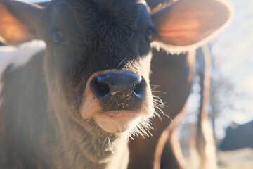 Wall Mural - portrait of a calf face close up in early winter light.