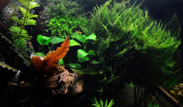 Beautiful aquatic decor in an aquarium, with aquatic plants and moss. This is aquascaping