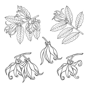 Ylang ylang or cananga odorata.  Yellow flower with green leaves. Vector drawing  vintage illustration isolated on white background.