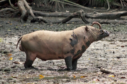 Babiroussa des Célèbes mâle dans la boue (Babyrousa celebensis). Espèce vulnérable. Parc national de Tangkoko, Ile de Sulawesi, Indonésie