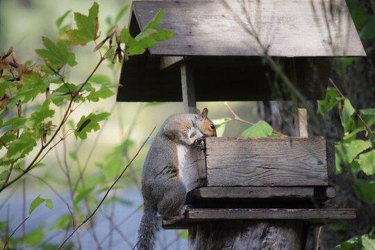 Western Gray Squirrel Climbs Into Feeder