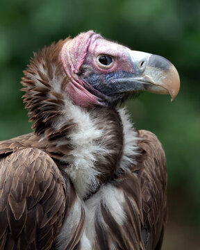 Lappet-faced Vulture giving me the wicked eye. San Diego Safari Park, California. USA