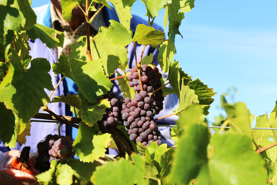 Grape harvest: Hand harvest of Pinot Noir and Pinot Gris grapes