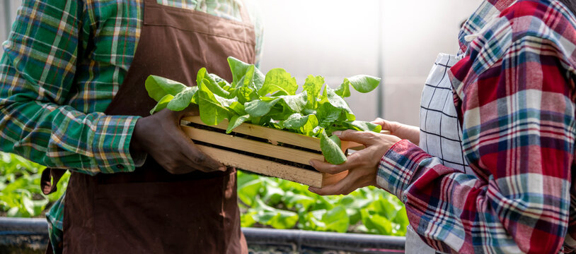 Black skin man farmer harvest salad vegetables and giving box fresh vegetable produce to asian woman, use for cover banner design, farming and healthy food concept.