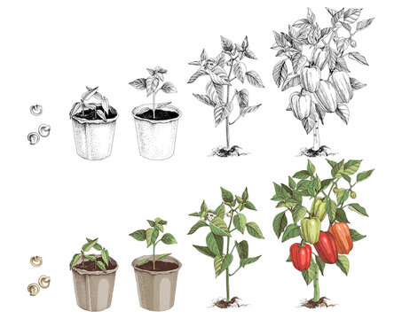 Bell pepper growth stages sketches