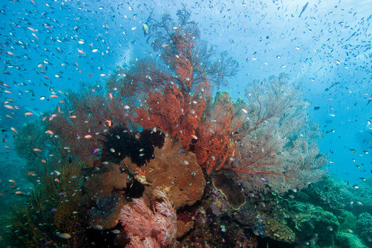 Tropical reef scene with gorgonian fans and anthias in Bali Indonesia