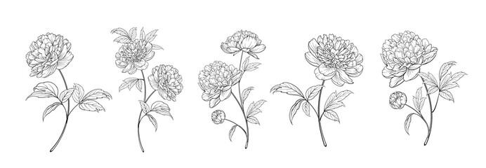 Obraz set of differents peony decoration on white background - fototapety do salonu