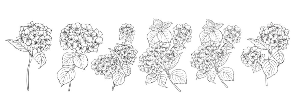 Set of differents hydrangeas on white background.