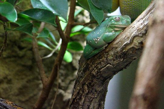 Green Frog Sleeping