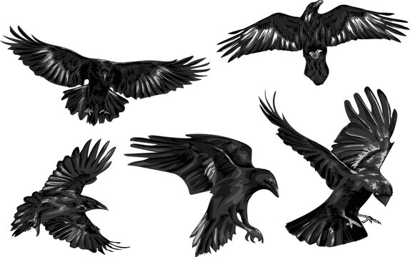 Set of high quality ravens - vector art