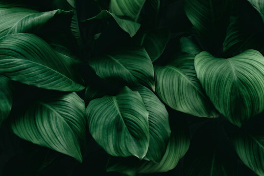 Tropical green foliage leaf on dark background in natural rain forest.