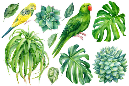 Parrots and tropical plants. Monstera, succulents, aloe vera, hand drawing, watercolor botanical painting