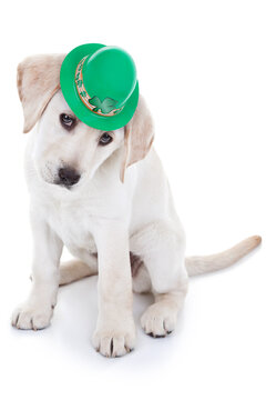 Spring St Patricks Day puppy dog dressed up in hat on white background