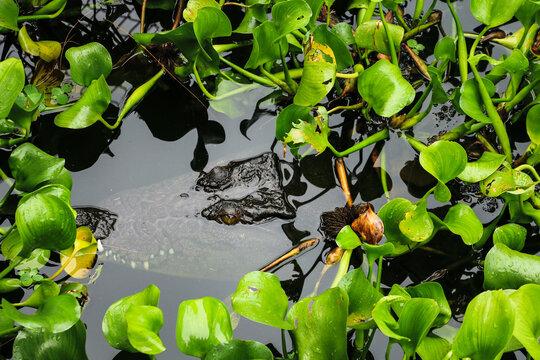 Crocodile lurking in the water.