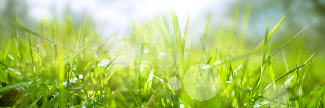 Dewy fresh grass in spring sun. Seasonal meadow background with light bokeh and short depth of field. Horizontal close-up with space for text.