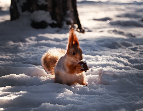 Cute squirrel with walnut on snow outdoors. Winter season