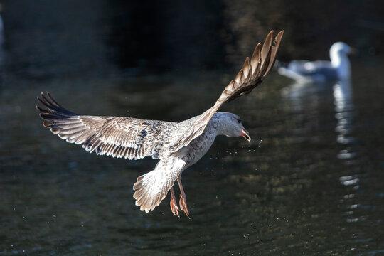 Gaviota con las alas abiertas volando y buscando donde posarse sobre el agua de un estanque