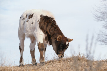 Wall Mural - Calf on farm eating winter grass, isolated on outdoor background.