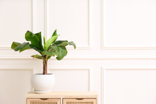 Beautiful indoor banana palm plant on wooden commode in room, space for text. House decoration
