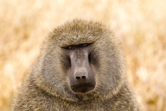 Africa, Tanzania, Serengeti National Park. Olive baboon close-up.