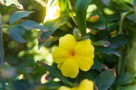 japanese jasmine flower . Yellow jasmine, japanese jasmine in yesilkoy istanbul turkey