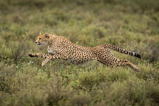 Tanzania, Ngorongoro Conservation Area, Adult Cheetah (Acinonyx jubatas) begins running while chasing down Wildebeest calf on Ndutu Plains