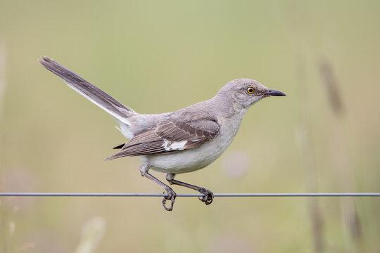 Mockingbird Sitting on a Wire