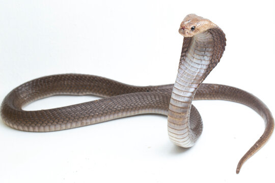 The Javan spitting cobra (Naja sputatrix) also called the southern Indonesian cobra, or Indonesian cobra. isolated on white background