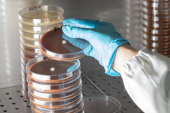 Scientist working in aseptic environment while handling Petri dishes by stacking them under sterile hood, human health scientific research concept
