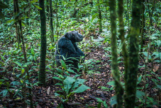Chimpanzee Sitting on the Ground in the Jungle in Kibale National Park, Uganda, East Africa