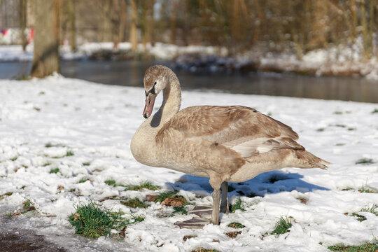 swan standing on snow in Hoogvliet, The Netherlands