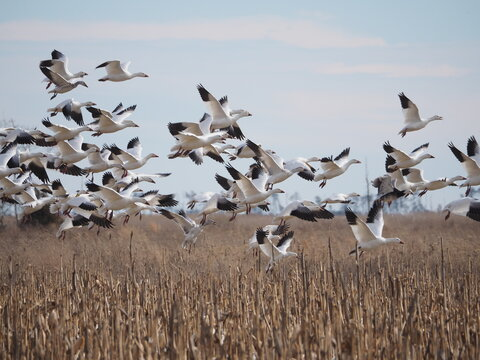 flock of snow geese over field on Chaesapeake Bay