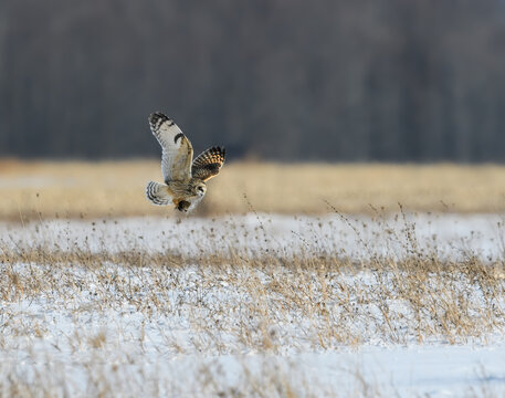 Short-eared Owl Caught a Vole and Taking off from the Snow Field in Winter