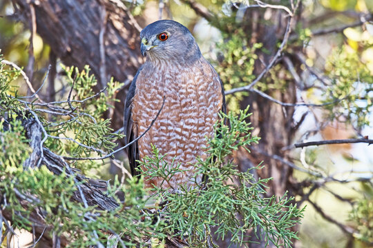 A Coopers Hawk perched in a tree with a red rock background in Sedona, Arizona. This is a medium-sized raptor closely related to sharp-shinned hawks and northern goshawks.