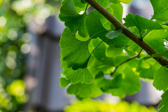 Ginkgo tree (Ginkgo biloba) or gingko with brightly green leaves against background of blurry foliage. Selective close-up. Fresh wallpaper nature concept. Place for your text