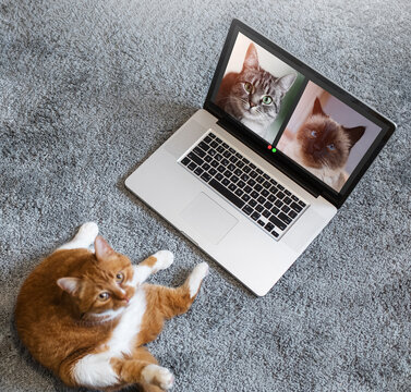 Top view of red cat talking to cats in group video call on laptop. Pets having an online conference.