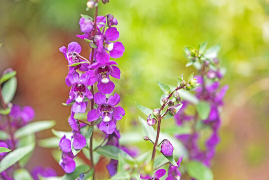 purple flower -  angelonia