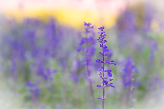 Selective focus of purple Angelonia flowers blooming on the garden with soft and blurred background.