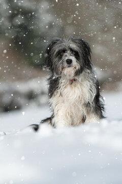 Cross breed dog sitting in snow landscape