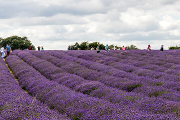 Purple Flowering Plants On Field Against Sky Wall mural