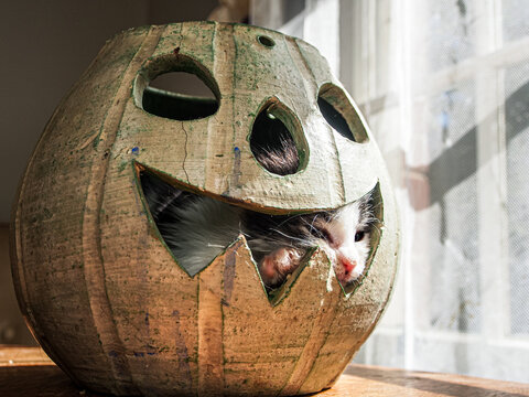 Kitty inside a ceramic jack-o-lantern squishing his white face and paw through the mouth hole.