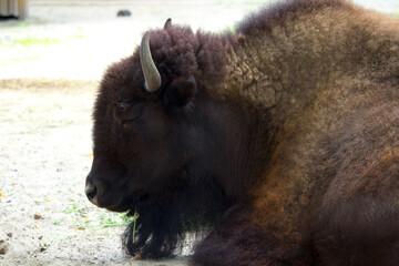 Fototapeta Bison on a warm summer day. Wild animal