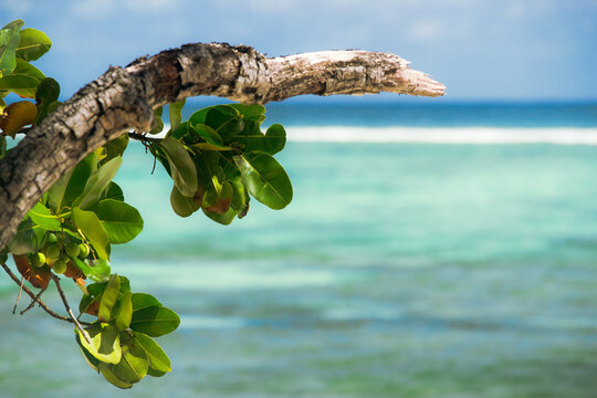 Branch of takamaka (Calophyllum inophyllum) on a beach in Seychelles with the turquoise sea in the background