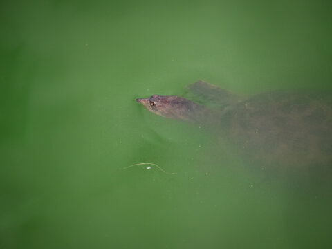 Spiny Softshell turtle in water