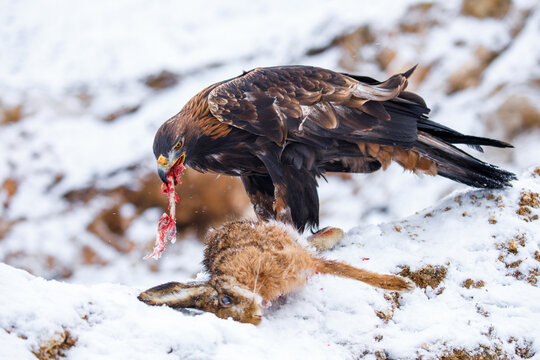 Hunter with caught prey. Golden eagle, Aquila chrysaetos, tears bone from killed hare. Eagle in snowy mountains. Majestic raptor in beautiful wild nature. Hungry predator. Winter wildlife from Europe.