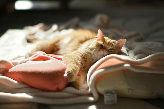 毛布の上でくつろぐ猫(マンチカン)
