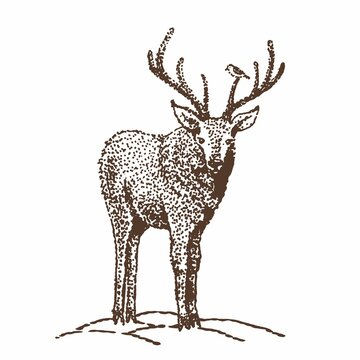 Drawing of a deer by hand