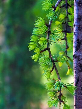European larch or Larix decidua spring branches, macro